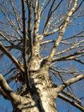 仅有的11月结构树 免版税库存照片