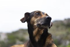今后看的狗 免版税图库摄影