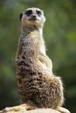 今后Meerkat饰面 图库摄影