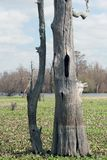 仍然站立死的柏树 库存照片