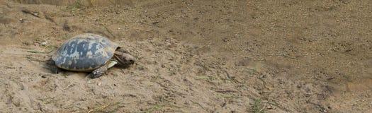 仍然设法的乌龟看非常用尽和继续前进,烧光动物概念 库存图片