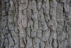 从一个大老橡树的干吠声的灰色纹理 库存照片