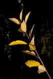 从一个结构树的肢体与黄色叶子 免版税图库摄影