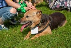 从一个风雨棚的一条狗与在衣领的一个白色标签在绿草伸出了他的舌头和谎言晴天 免版税库存照片