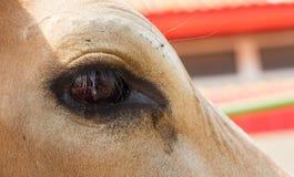 从一头白色母牛的眼睛的泪花 库存照片