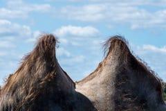 从一头骆驼的两个小丘反对与云彩的蓝天 免版税库存照片