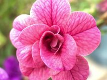 从一朵桃红色花关闭  库存照片
