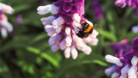 从一朵美丽的紫色花的蜂饮用的花蜜 库存图片