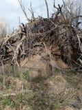 从一棵壮观的棕色被风吹树的根 库存图片