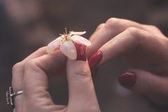 从一棵树的白色春天花在有红色修指甲的女性美好的手上在钉子 r 免版税库存照片