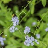 从一棵植物的蜜蜂饲养花蜜在一好日子 免版税库存图片