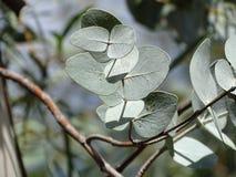 从一棵蓝色Mallee树,艾瑞斯岩石手段,北方领土的叶子 免版税库存图片