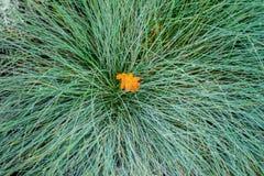 从一片第一黄色下落的秋天叶子的特写镜头在绿草 免版税图库摄影