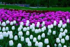 从一绿色庭院保加利亚的花索非亚郁金香 免版税图库摄影