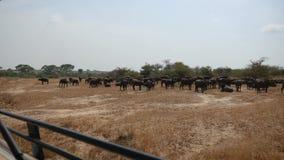 从一辆徒步旅行队汽车的看法在水牛城牧群非洲平原的与黄色草 股票录像
