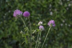 从三叶草或三叶草野花的花束在绽放, Plana山 库存图片