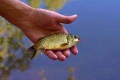 从上面的一活鲤鱼在手中-景色 免版税库存图片