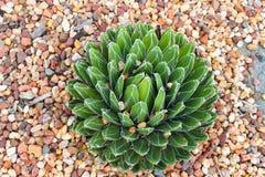 从上面的仙人掌多汁看起来类似于的圆白菜-看法在石渣床上与一些石渣的在它的叶子捉住了 库存图片