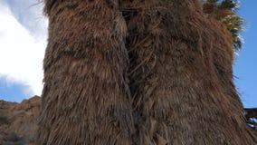 从下来上面的全景,棕榈树在沙漠,未曾被切开 4K 影视素材
