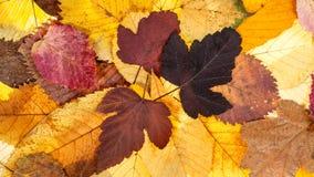 从下落的叶子的全景秋天背景 图库摄影