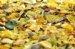从下落的秋天桦树和白杨树叶子的混合的落叶废弃物 秋天背景特写镜头上色常春藤叶子橙红 免版税库存图片