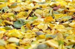 从下落的秋天桦树和白杨树叶子的混合的落叶废弃物 秋天背景特写镜头上色常春藤叶子橙红 免版税图库摄影