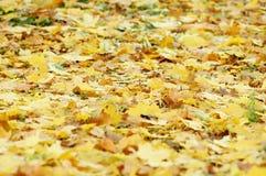 从下落的秋天槭树和法国梧桐叶子的混合的金黄落叶废弃物 图库摄影