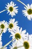 从下面看见的春黄菊花 库存图片