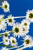 从下面看见的春黄菊花 免版税图库摄影