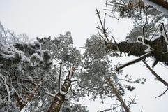 从下面被拍摄的积雪的树 库存图片