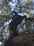 从下面被看见的被扭转的树 免版税库存照片