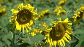 从与黄蜂飞行的2个向日葵关闭在花附近 股票录像