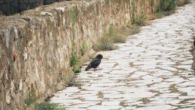 从中古的老堡垒,鸽子在一条人行道站立 影视素材
