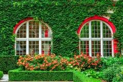 从事园艺与开花的八仙花属和修造的墙壁,盖用长得太大的常春藤植物 库存照片