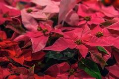从事园艺与红色一品红花或圣诞节星 库存照片