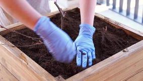 从事园艺和园艺-妇女一个箱子的植物植物在大阳台在春天 股票视频