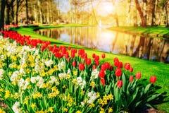 从事园艺在Keukenhof、郁金香和黄水仙在春天 荷兰 图库摄影