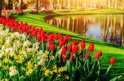 从事园艺在Keukenhof、郁金香和黄水仙在春天 荷兰 免版税库存照片