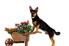 从事园艺的插孔罗素狗 图库摄影