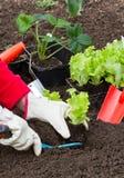 从事园艺种植沙拉 库存图片