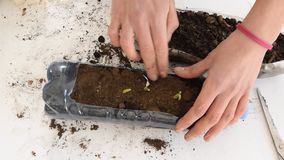 从事园艺被回收的塑料的瓶-女性手植物大蒜顶视图在塑料瓶的 影视素材