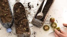 从事园艺被回收的塑料的瓶-女性手植物蕃茄顶视图在塑料瓶的 股票录像