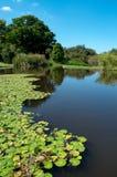 从事园艺kirstenbosch湖睡莲叶 免版税库存照片