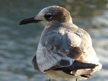 从佛罗里达的少年笑的鸥 库存图片