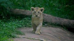 从佩恩顿动物园的幼狮 免版税库存图片