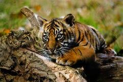 从佩恩顿动物园的虎犊 免版税库存照片
