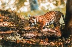从佩恩顿动物园的虎犊 免版税库存图片