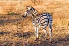 从克留格尔国家公园的斑马,马属拟斑马 免版税库存照片