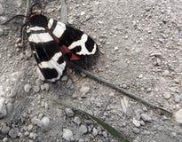 从克里米亚的飞蛾 库存照片