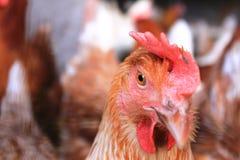 从农场的一只母鸡在Rollingen,卢森堡 图库摄影